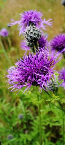 Flockenblumen by tinadefortunata