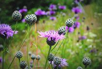 Wildblumenwiese by tinadefortunata