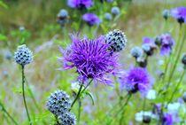 märchenhafte Flockenblumen  by tinadefortunata