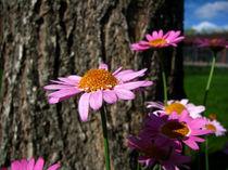 Pretty pink Daisies von starsania