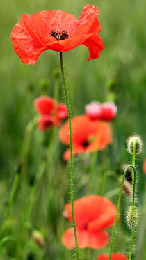 roter Mohn by Jake Playmo