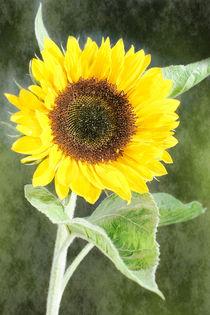 Sonnenblume56