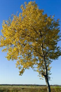 populus tremula (zitterpappel) by helmut krauß