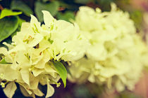 Bougainvillea - White (Vintage version)  von reorom