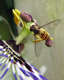 Hoverfly on a Passionflower von Hans Bax