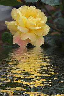 Yellow Rose hint of pink  flood  von David J French