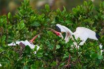 White-ibis-fighting-3485-c-3485