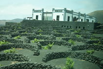 Vines growing in volcanic lapilli von daniela-ifrim
