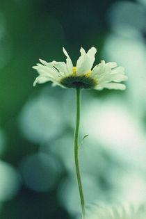 Daisy  by papallonari