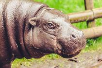 Hippopotamus Amphibius von Daniel Walsh