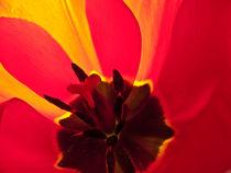 Innenleben einer Tulpe by fotaria