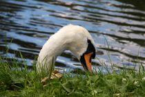 Swan-nibble