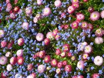 Bunte Korbblütler von Silke Bicker
