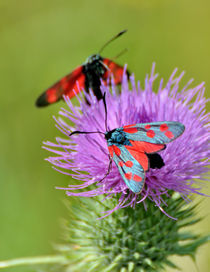 Six-spot Burnet by gnubier