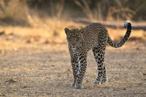 Young male leopard by Johan Elzenga