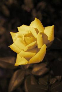 Yellow rose by Lina Shidlovskaya