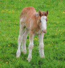 Foal Shire Horse by John McCoubrey
