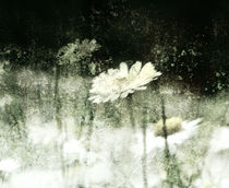 Daisy Love b&w by florin