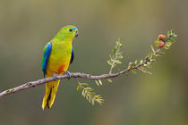 Orange-bellied Parrot by birdimagency