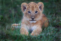 Lion cub from Rekero pride, Masai Mara, Kenya by Maggy Meyer