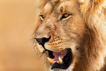 Lion portrait, Masai Mara von Maggy Meyer