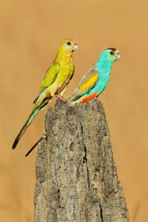 Golden-shouldered Parrot by birdimagency