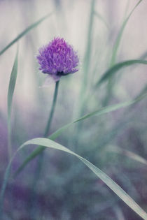 flowering chive by Priska  Wettstein