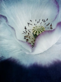 the heart of a poppy by Priska  Wettstein