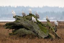 Snowy Owl by birdimagency
