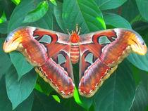 Riesiger exotischer Schmetterling von Marita Zacharias
