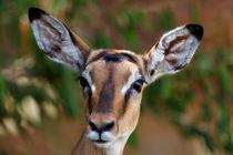 Young Impala antelope, Masai Mara by Maggy Meyer