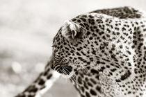 Leopard Olive, Masai Mara, Kenya by Maggy Meyer