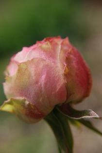 Natures Roses. by rosanna zavanaiu