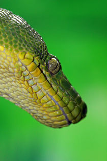 Emerald Tree Boa von Paul Slebodnick