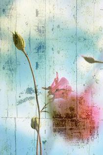 Pink flower on blue background by Christine  Vie