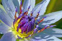 Seerose-nymphaeaceae-lila-gelb-8-bearbeitet-1