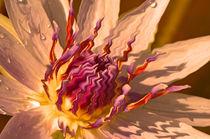 Seerose-nymphaeaceae-rosa-bearbeitet-2