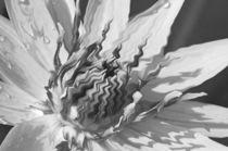Nymphaeaceae von Thomas Brandt