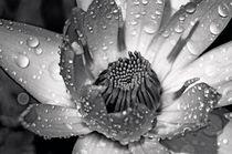 Seerose-nymphaeaceae-rosa-im-regen-3