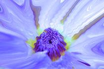 Seerose-nymphaeaceae-rosa-im-regen-bearbeitet-3