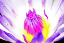 Seerose-nymphaeaceae-violet-rosa