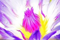 Seerose-nymphaeaceae-violet-rosa-bearbeitet-1