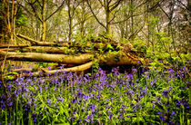 Bluebell WOOD 3 by Simon Gladwin