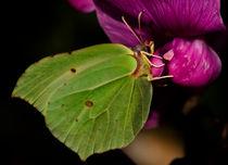 Brimstone-butterfly