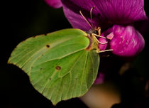 Brimstone Butterfly by Simon Gladwin