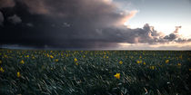 Porthleven Daffodils by Simon Gladwin