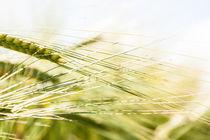Ohra - Barley von Kristiina  Hillerström