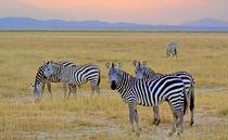 Zebras in the morning by Pravine Chester