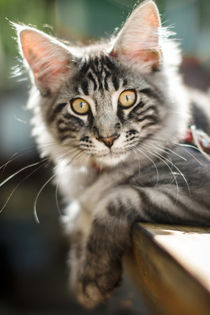 Maine Coon kitten 3 by Kristiina  Hillerström