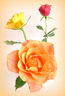 orange Rose von Kerstin Runge